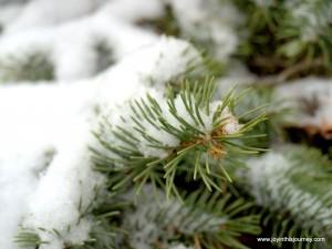 winter evergreen
