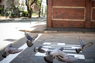 Pigeons in the road