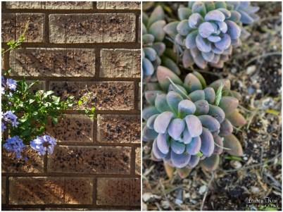 Brick wall hydrangae