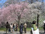 Cherry Blossoms (Sakura) at Maizuru park in Fukuoka Japan 2014