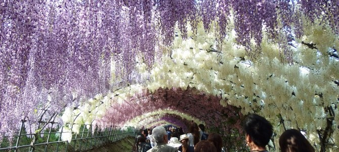 Does this view really exist? Fantastic wisteria flower! Kawachi Fuji Garden (河内藤園) in Kitakyushu.