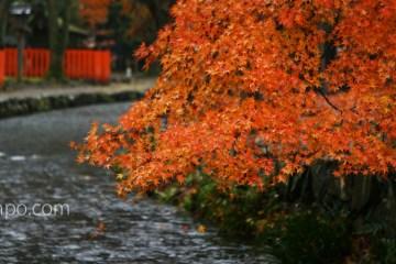 京都 上賀茂神社 紅葉