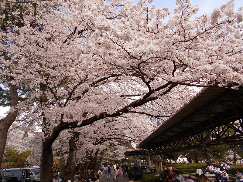 トンネルの様に咲く桜