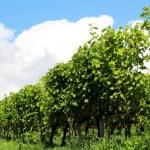 ワイナリーのぶどう畑