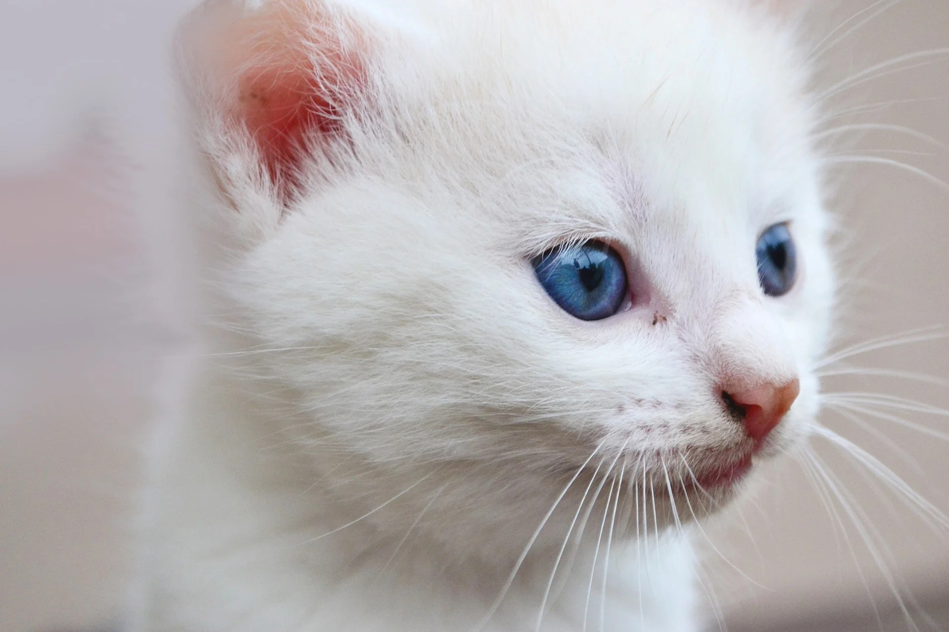 Did You Know That White Cats with Blue Eyes Are Deaf \u2013 Juan