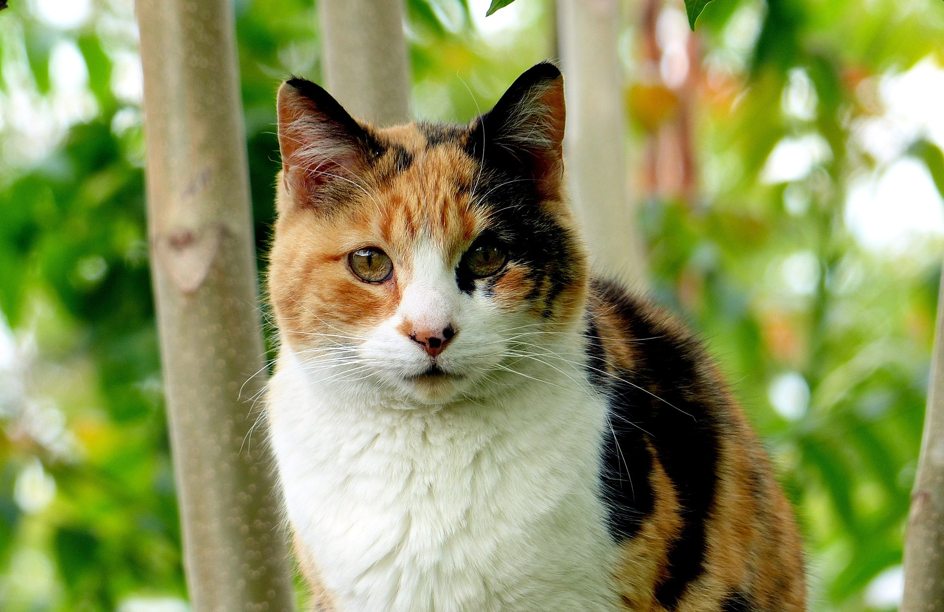 did you know that calico cats are almost always female juan pascual
