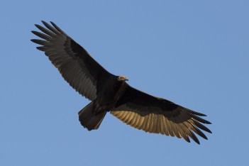 turkey-vulture-1107362_1280