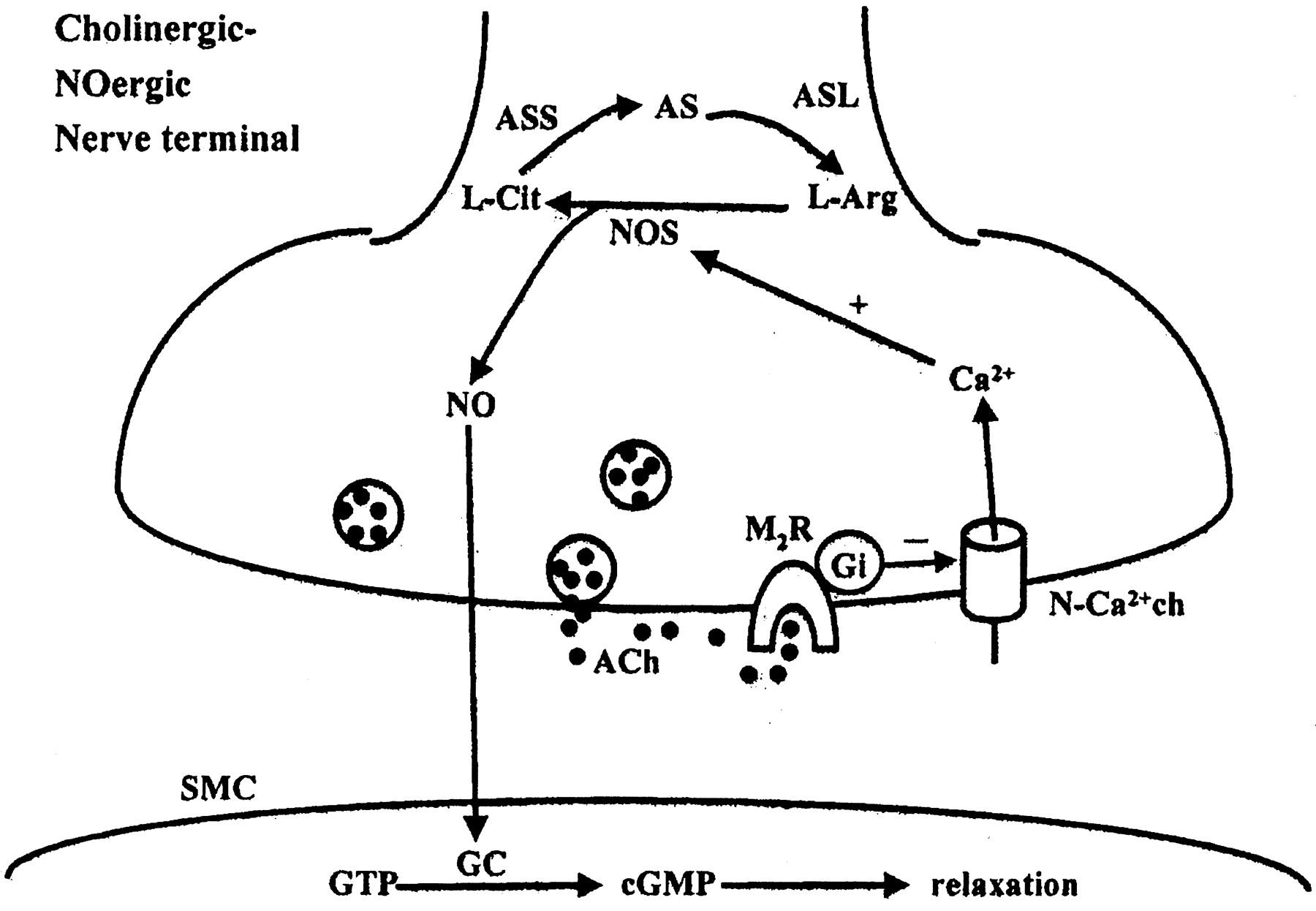 Presynaptic Muscarinic M2 Receptor Mediated Inhibition Of
