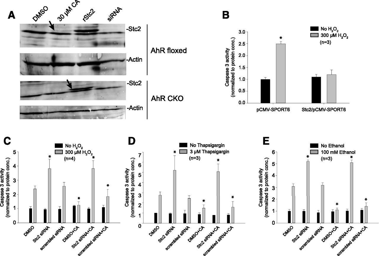 Aryl Hydrocarbon Receptor Dependent Stanniocalcin 2 Induction By Cinnabarinic Acid Provides