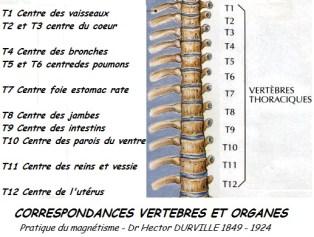 vertebres thoraciques