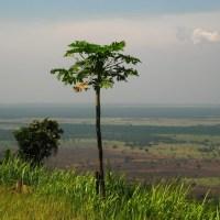 Papaya+Tree