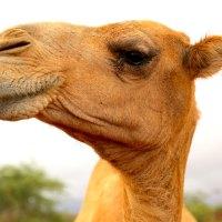 Camel-Burao-Somaliland