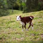A calf.