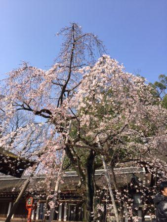 京都で、桜が長く楽しめる名所は?平野神社で、お花見を楽しもう♪
