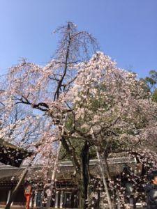平野神社 枝垂れ桜.JPG