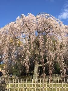 御所 枝垂れ桜.JPG
