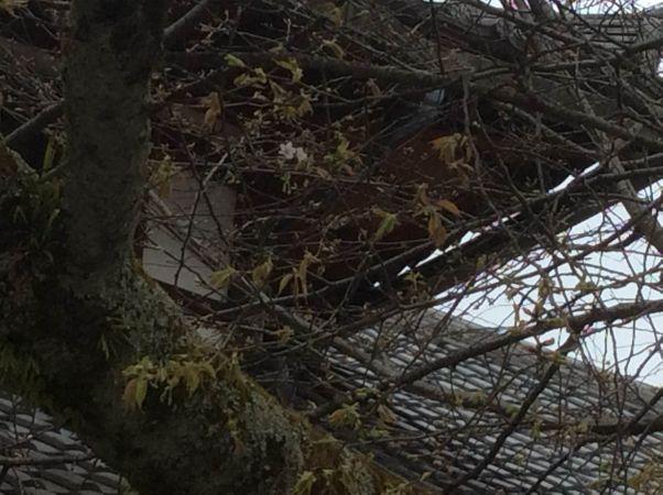 京都・北野天満宮 新発見!世界で一つだけの北野桜