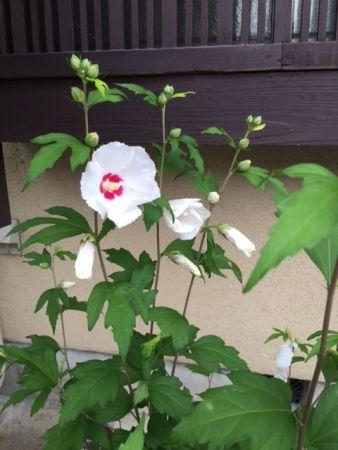 夏の茶花 花は野にあるように