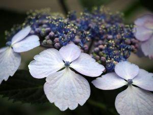 hydrangea-789480_1280