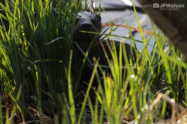 Otter Through The Grass