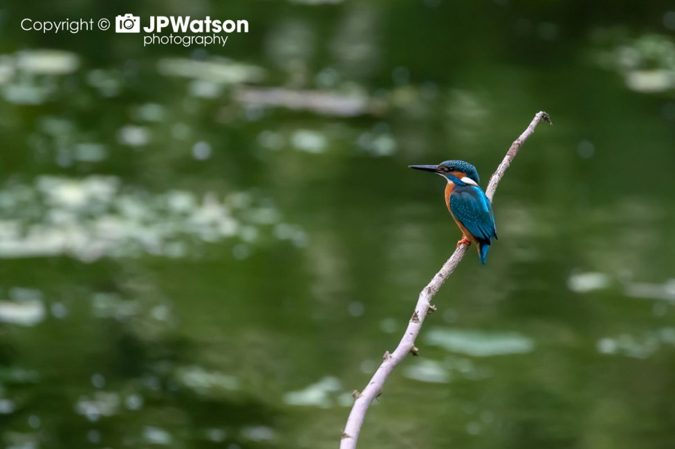 Kingfisher On The Look Out
