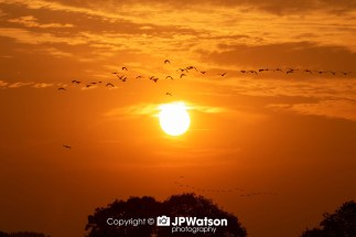 Geese Flying Through Staveley
