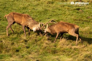 Red Deer Stag Still Rutting