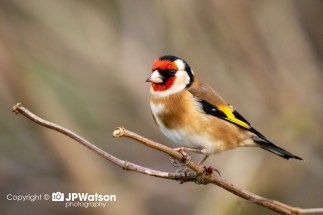 Colourful-Goldfinch