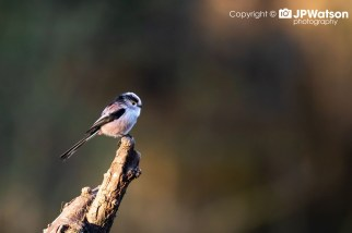 Long-Tailed-Tit-Watching