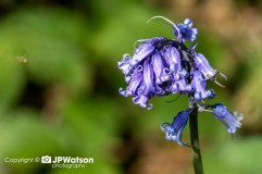 Close Up Of A Bluebell