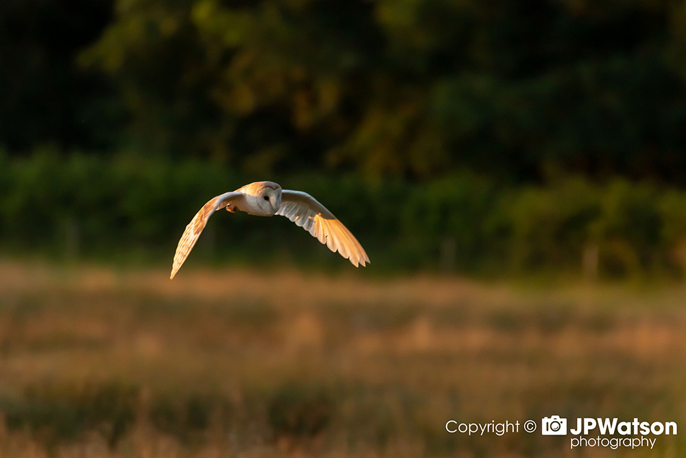 Barn Owl Searching