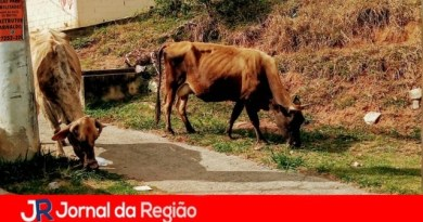 """Vacas vão procurar """"comida"""" em avenida"""