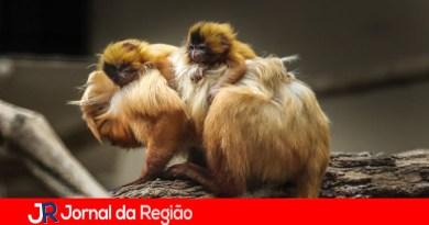 Zoo de Itatiba registra nascimento de gêmeos de Mico-Leão