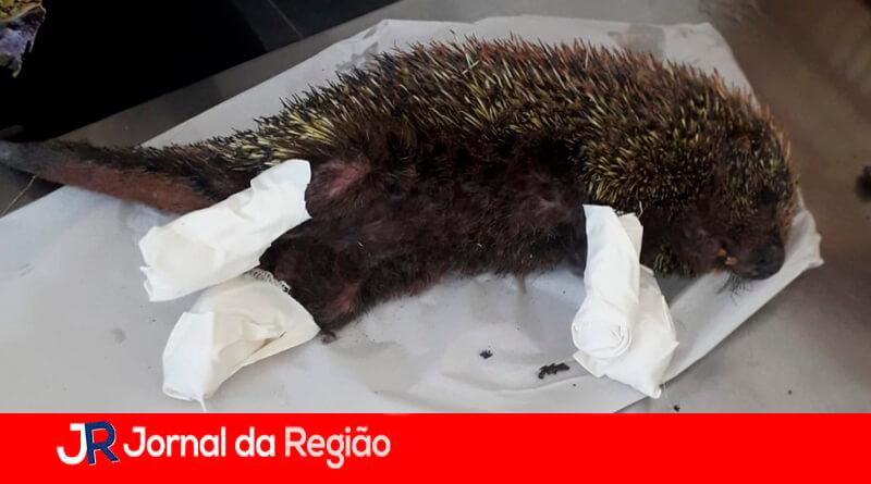 Ouriço resgatado. (Foto: Divulgação)