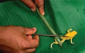 frog-poison-dart