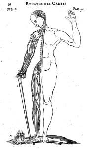 descartes nerves de homine  c1662 1