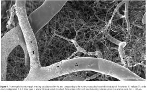 brain_capillary