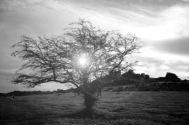 black and white, b&w, tree, solar flare, digital manipulations, moorland, moors, bare tree,