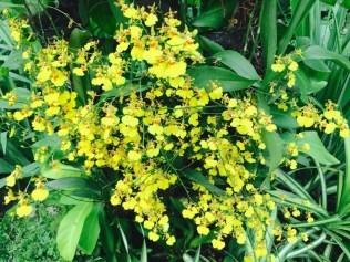 Oncidium Golden Shower orchid