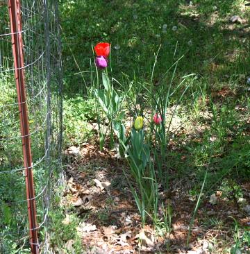 rachel-tulips