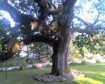 old oak 2