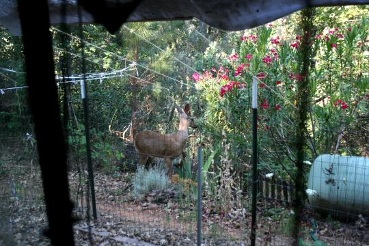 deer again 1