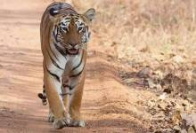 'Avni's cub' succumbs to injuries after territorial conflict