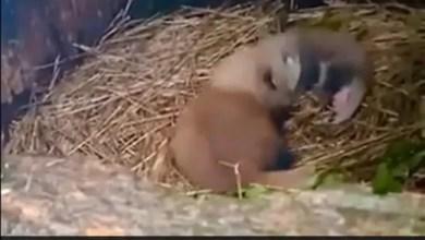 दार्जिलिंग के चिड़ियाघर में एक Red Panda ने दो शावकों को दिया जन्म, लोगों ने कुछ इस तरह किया स्वागत