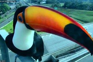 Dois tucanos pousam em frente à câmera de monitoramento de tráfego da Via Anhanguera (SP-330), em Campinas (SP) / Divulgação/CCR AutoBan