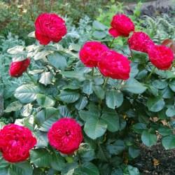 como-plantar-roseiras-rasteiras-7