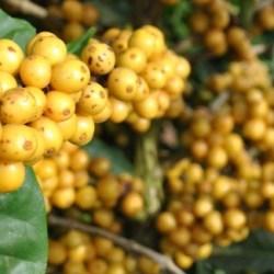 Procafé-Cultivar-Arara-de-cafeeiros-responde-bem-à-poda-de-esqueletamento