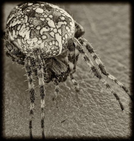 Cross Orbweaver Monochrome - J.T. Avery Photography