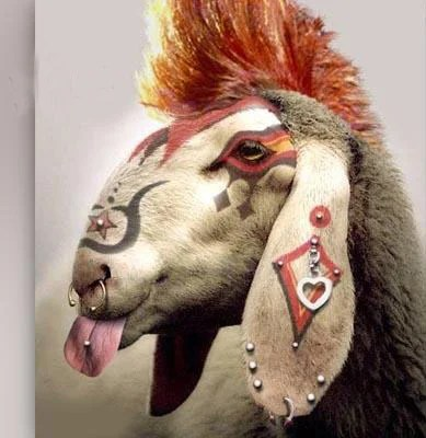 mouton tatoué et percé