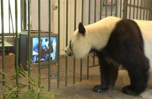 panda géant regardant la télévision